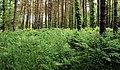 Ferns, Ballysallagh forest, Craigantlet - geograph.org.uk - 1925868.jpg