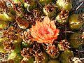 Ferocactus wislizeni (6541009621).jpg