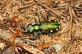 Festive Tiger Beetle - Cicindela scutellaris rugifrons, Glendening Tract, Jug Bay Sanctuary, Lothian, Maryland.jpg