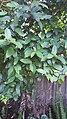 Ficuscoronata104.jpg