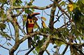 Fiery-billed Aracari DSC 5334.jpg