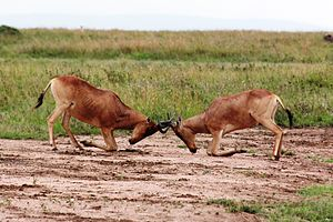 Male hartebeest locking horns and fiercely defending their territories. An example of direct competition