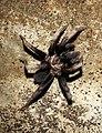 Fimbriated Striated Burrowing Spider Chilobrachys fimbriatus by Dr. Raju Kasambe DSCN6711 (4).jpg