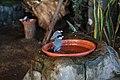 Finches Bathing (32128070566).jpg
