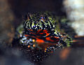 Fire Bellied Toad - CNP 3431 (7138473433).jpg