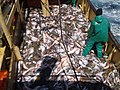 Fish aboard trawler African Queen .jpg