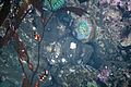 Fish and anemone in tide pools in Santa Cruz.jpg