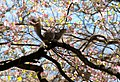 Flickr - USCapitol - Squirrel in Pink Dogwood in Capitol Square.jpg