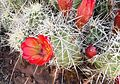 Flickr - brewbooks - Claretcup Cactus.jpg