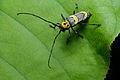 Flickr - ggallice - Longhorn beetle (2).jpg