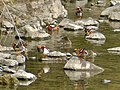 Flock of Aix galericulata in Shonai River - 7.jpg