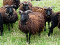 Flock of Hebridean Sheep.jpg