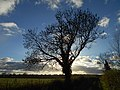 Flock of starlings in tree, Somerton, Somerset 01.jpg