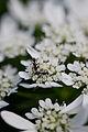"Flower, Orlaya grandiflora ""White Lace Flower"" - Flickr - nekonomania.jpg"