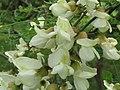 Flower Blk Locust 2016-05-28 011.jpg