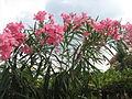 Flower of Arali Plant, Near Cumbum, Tamilnadu.JPG
