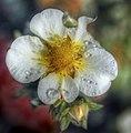 Flowers of Ireland (8183864793).jpg