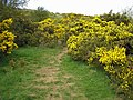 Footpath Through the Gorse - geograph.org.uk - 403432.jpg