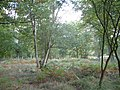 Forest Clearing - geograph.org.uk - 63668.jpg