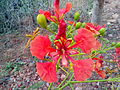 Forest flame(Delonix regia) 02.jpg
