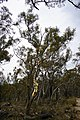 Forest of Eucalyptus haemastoma.jpg
