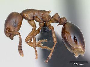 Präparierte Formicoxenus nitidulus -Arbeiterin