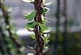 Fouquieria splendens 24zz.jpg