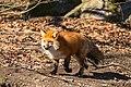 Fox (28142589850).jpg