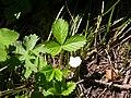 Fragaria vesca (5069794914).jpg