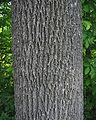 Fraxinus americana bark.jpg