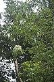 Fraxinus ornus-3381.jpg