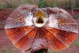 Frilled-lizard500.jpg