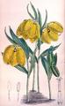 Fritillaria aurea - Sect Fritillaria - 120 1894 - MS JNFitch.png