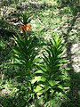 Fritillaria imperialis sl4.jpg