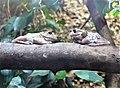 Frogs Warsaw ZOO Warszawskie ZOO 03.jpg