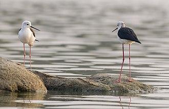 Black-winged stilt - at Ameenpur lake, Telangana, India