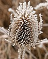 Frosted teazle - geograph.org.uk - 1128191.jpg