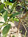 Fruto de Citrus × limon.jpg