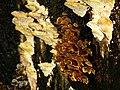 Fungus, Castle Park - geograph.org.uk - 1024701.jpg