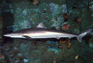 School shark - Image: Galeorhinus galeus SI3