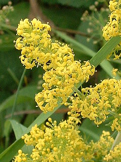 <i>Galium verum</i> species of plant