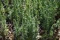 Galium verum in Jardin Botanique de l'Aubrac 09.jpg