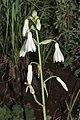 Galtonia candicans (Hyacinthaceae) (6786055054).jpg