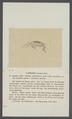Gammarus puteanus - - Print - Iconographia Zoologica - Special Collections University of Amsterdam - UBAINV0274 098 02 0007.tif