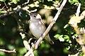 Garden Warbler (Sylvia borin).jpg
