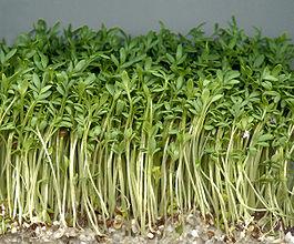 Кресс салат и экология