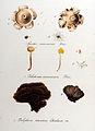 Geaster mammosus — Flora Batava — Volume v10.jpg