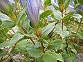 Gentiana calycosa (28583583564).jpg