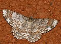 Geometrid Moth (Epimecis detexta) (40318050834).jpg