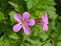Geranium Robertianum - Detail - Blossom.jpg